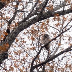 Barred Owl (m_laRs_k) Tags: waldkauz eule tawnyowl olympus penf 14150 centralpark nyc manhattan animal bird wildlife barredowl streifenkauz superzoom нея́сыть 猫头鹰 纽约 ньюйо́рк chouette lechuza