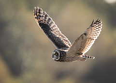 Short-eared Owl (Steve D'Cruze) Tags: seo short eared owl asio flammeus sefton merseyside w