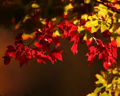 """""""Leaves of Red and Gold"""" (ftherit) Tags: nature trees leaves leaf color autumn red gold swamps bombay hook nwr canon 1dx ii 600mm"""