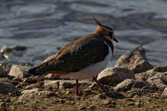 20181102_132136_DxO (SnapperNeil) Tags: lapwing