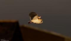Sunlit Barn Owl hunting (Steve (Hooky) Waddingham) Tags: stevenwaddinghamphotography animal countryside voles bird british barn nature northumberland flight hunting prey wild wildlife owl