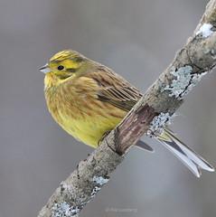 Yellowhammer | Keltasirkku (Piia | Nature photography) Tags: yellowhammer keltasirkku gulsparv lintu bird birdphoto lintukuva luontokuva finland