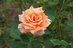 Longwood Gardens, PA (SomePhotosTakenByMe) Tags: rose orange plant pflanze flora blume flower urlaub vacation holiday usa america unitedstates amerika outdoor garden garten park botanicalgarden botanischergarten kennethsquare