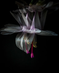 Xmas cactus - in camera double exposure. (gks18) Tags: doubleexposure canon floral cactus lightroom nik handheld naturallight