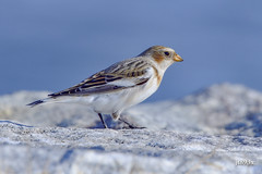Snow Bunting (jt893x) Tags: 150600mm bird bunting d500 jt893x nikon nikond500 nonbreeding plectrophenaxnivalis sigma sigma150600mmf563dgoshsms snowbunting thesunshinegroup coth alittlebeauty coth5 sunrays5 ngc