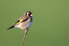Goldfinch (cliveyjones) Tags: goldfinch nature wildlife