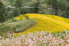 _J5K2473.0918.Dế Xu Phình.Mù Cang Chải.Yên Bái (hoanglongphoto) Tags: asia asian vietnam northvietnam northwestvietnam landscape vietnamlandscape vietnamscenery scenery vietnamscene mountain flanksmountain terraces terracedfields harvest seasonharvest flower canon canoneos1dsmarkiii canonef2470mmf28liiusm tâybắc yênbái mùcangchải dếsuphình phongcảnh phongcảnhmùcangchải mùcangchảichảimùalúachín mùcangchảimùagặt ruộngbậcthang ruộngbậcthangmùcangchải núi sườnnúi hoa hoatamgiácmạch
