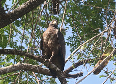 Buteogallus meridionalis (mazama973) Tags: bird oiseau frenchguiana guyane guyanefrançaise accipitridae buteogallusmeridionalis busebuson rufouscrabhawk