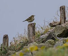 Pippit (ianbartlett) Tags: outdoor mist murk wildlife nature birds seal bull water river pylons colour loght
