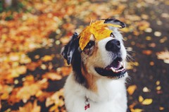 goofball (meeganz) Tags: dog autumn australianshepherd