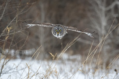 Phantom Flight... {Explored} (DTT67) Tags: greatgrayowl owl raptor birdofprey bif bird winter snow wildlife nationalgeographic nature 1dxmkii 500mmii14xtciii canon minnesota mn hunting ggo