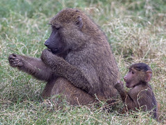 004_Mother and Baby Baboons.jpg (Howard Sumner) Tags: litchfieldpark wildlifeworldzoo arizona baboon zoo primate animal