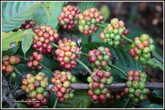 8473 - coffee fruits (chandrasekaran a 55 lakhs views Thanks to all.) Tags: coffeefruits coffee plant chikmagaluru india nature canoneos6dmarkii tamronef28300mm karnataka