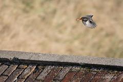 Black Redstart - Shoreham Fort (019) (Malcolm Bull) Tags: 20190120fort0019edited1web include shoreham redstart bird fort beach