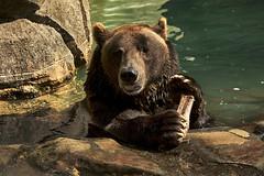Happy Thanksgiving (ucumari photography) Tags: ucumariphotography grizzly brown bear ursusarctos animal mammal bone nc north carolina zoo october 2018 dsc9715