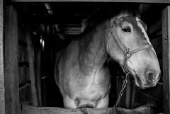 Brandy (7thound) Tags: uplandhillsfarm portrait barn michigan smallfarm farm horse blackandwhite 35mm canon ilford ilforddelta400 analog film