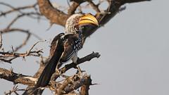 Southern Yellow-billed Hornbill Tockus leucomelas (jaytee27) Tags: southernyellowbilledhornbill namibia tockusleucomelas naturethroughthelens etosha