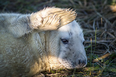 Get the sun out of my eyes !! (NSJW photos) Tags: greysealpup grey seal pup donnanook cute flipper nature nsjwphotos