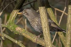 Blackbird (Female) (Mal.Durbin Photography) Tags: forestfarm maldurbin wildlifephotography wildlife naturephotography naturereserve