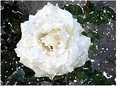 Gott unser Zuflucht ist und Stärk, auf den wir trauen (amras_de) Tags: rose rosen ruža rosa ruže rozo roos arrosa ruusut rós rózsa rože rozes rozen roser róza trandafir vrtnica rossläktet gül blüte blume flor cvijet kvet blomst flower floro õis lore kukka fleur bláth virág blóm fiore flos žiedas zieds bloem blome kwiat floare ciuri flouer cvet blomma çiçek zeichnung dibuix kresba tegning drawing desegnajo dibujo piirustus dessin crtež rajz teikning disegno adumbratio zimejums tekening tegnekunst rysunek desenho desen risba teckning çizim