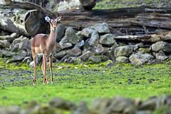 Impala (Michael Döring - thx for 20.000.000 views) Tags: gelsenkirchen bismarck zoomerlebniswelt zoo impala tc14eii afs600mm40e d850 michaeldöring