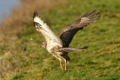 Common Buzzard (tulner054) Tags: buizerd roofvogel buzzard
