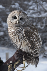 Radar, the Barred owl (mobybick2) Tags: wisconsin places doorcounty animals birds opendoorbirdsanctuary venues year 2019 milwaukee owls