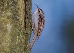 Treecreeper ( Certhia familiaris ) (Dale Ayres) Tags: treecreeper certhia familiaris bird nature wildlife tree wood