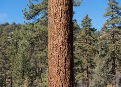 The Kitchen Pantry (San Bernardino Nat'l Forest) Tags: woodlandtrail naturetrail bigbear hikingtrail jeffreypine acornwoodpecker