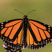 Male Monarch migrating to Mexico (just another bozo on the bus) Tags: