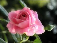 (Tölgyesi Kata) Tags: blossom rosen rosa rosier rose rózsa withcanonpowershota620 füvészkert botanikuskert botanicalgarden autumn ősz pinkflower fleur virág budapest