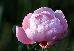 "December Weekend Rose  ""Queen of Sweden"" (Eleanor (No multiple invites please)) Tags: flower rose pinkrose queenofsweden busheyrosegarden bushey uk nikond7100 november2018"
