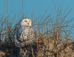 Lemon Drops (rob.wallace) Tags: winter 2019 jersey shore raptor dunes snowy owl female