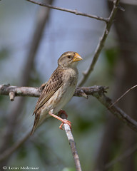 White-winged Widowbird (f) (leendert3) Tags: leonmolenaar southafrica krugernationalpark wildlife nature birds whitewingedwidowbird ngc npc