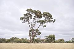 _DSC0643 (Laugia) Tags: arbre australie