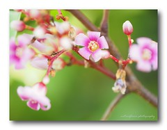 Little Carambola flowers, HMM. (natureflower photography) Tags: carambola flowers star fruit pink little green