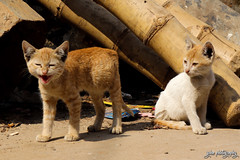 The Calm and the Bold (shamahzoha) Tags: felines cats kittens small tiny baby roar furry pose animals stray streetside cute beauty beautiful amazing vibrant colors colorful warm streetphotography paws pair two