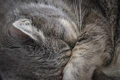 Catnap (Modkuse) Tags: fujifilmmacro catnap cat animal provia fujiprovia fujifilmxt2provia fujifilmxt2proviasimulation art artphotography fineartphotography fineart fujifilm fujifilmxt2 xt2 xf 80mm f28 lm ois wr macro fujifilmxf80mmf28rlmoiswrmacrolens xf80mmf28rlmoiswrmacrolens macrophotography macrolens