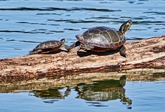 Big and Small (chauvin.bill) Tags: strickerspond tamron paintedturtles