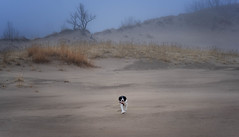 When I get to heaven... (Phila Broich) Tags: dog english springer spaniel warren dunes michigan fog pet animal joy