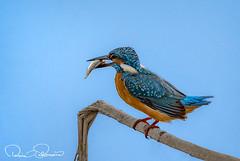 common kingfisher (TARIQ HAMEED SULEMANI) Tags: sulemani supershot sensational winter wildlife wild nature birds tariq tourism trekking tariqhameedsulemani travel