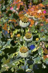 Poppy Pods! (maginoz1) Tags: flowers gumtree poppypods abstract art manipulate curves jasmin rendered summer december 2018 bulla melbourne victoria australia canon g3x