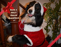 Have a Jolly Collie Christmas (ASHA THE BORDER COLLiE) Tags: funny christmas post picture border collie dog ashathestarofcountydown connie kells county down photography