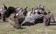 Ndutu Area (Ngorongoro) | Greater Serengeti Migration Area (Gaston Batistini) Tags: ndutu ngorongoro serengeti migration batistini gbatistini canon 5dsr