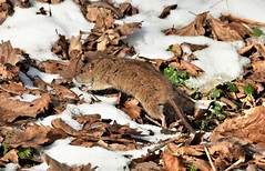 Dashing through the snow... (pstone646) Tags: rat rodent wildlife animal fauna snow leaves running nature