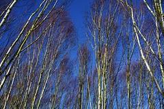 Anglesey Abbey Winter Garden (Gemma Hampton) Tags: tree trees winter whitetrees sky white garden wintergarden nationaltrust uk anglesey anglesyabbey