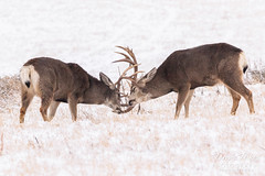 January 12, 2019 - Mule deer bucks spar in the snow. (Tony's Takes)