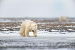 Mischievious Male Cub (Glatz Nature Photography) Tags: alaska arctic arcticalaska barterisland glatznaturephotography kaktovik nanook nanuk nanuq nikond850 northamerica polarbear ursusmaritimus wildanimal wildlife ice