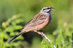 Cia - Rock Bunting - Emberiza cia (rio.alva) Tags: portugal serradafreita bird birdwatching ave nature natureza nikon200500mmf56eedvr nikond7000