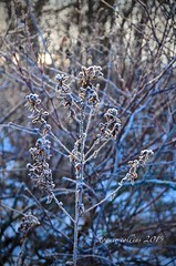 jan 13 frost covered weed (Basildon Kitchens) Tags: princeedwardcounty winter nature weed frost
